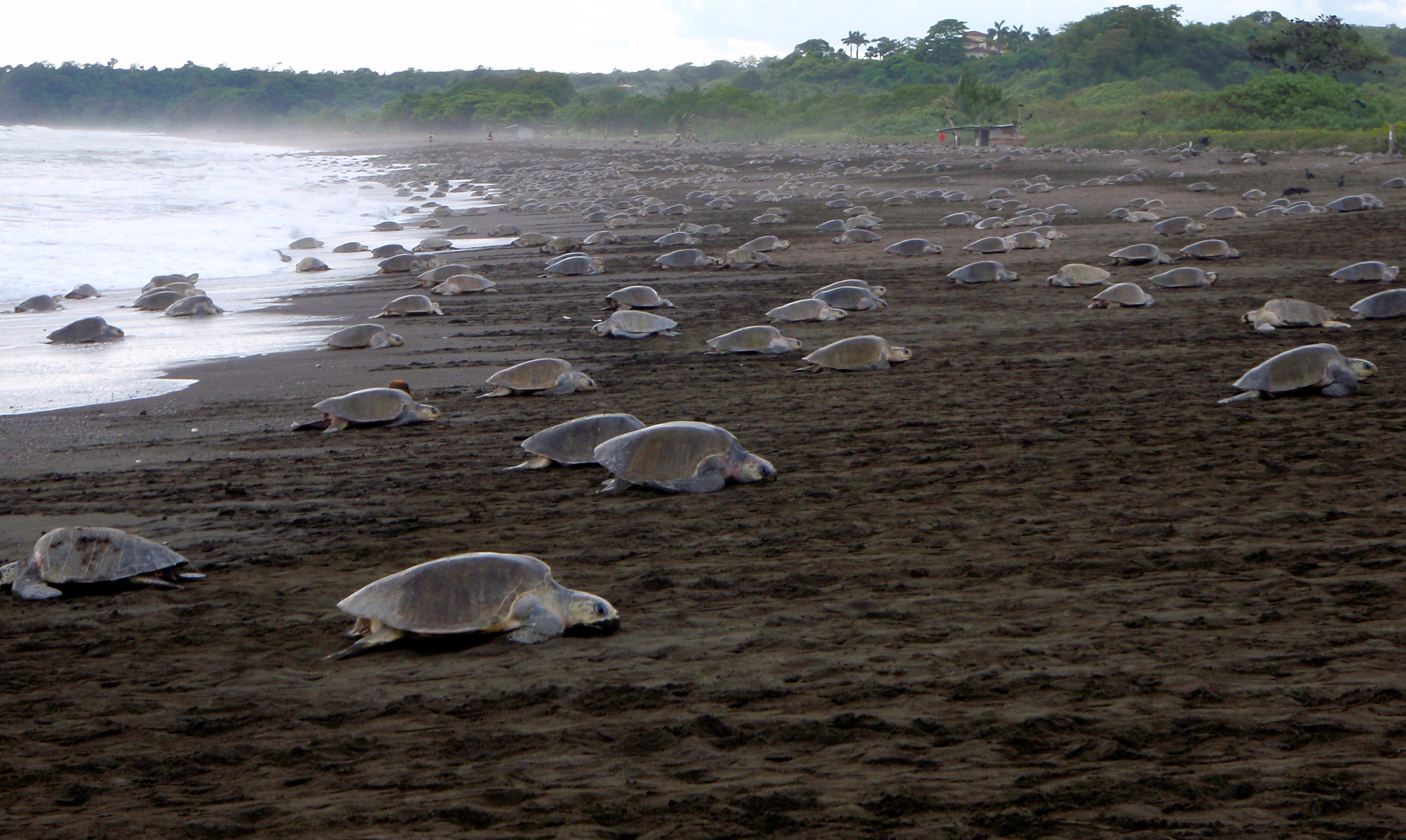 Mass-nesting by olive ridley sea turtles at Ostional, Costa Rica. Photograph by Vanessa Bezy.